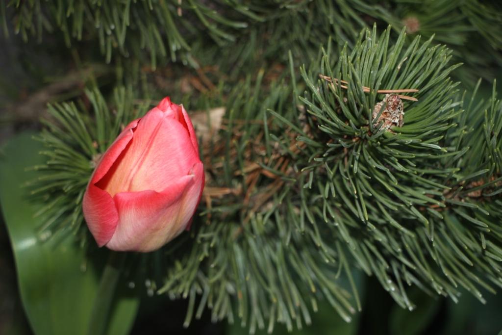 tulipan z sosny gałązką