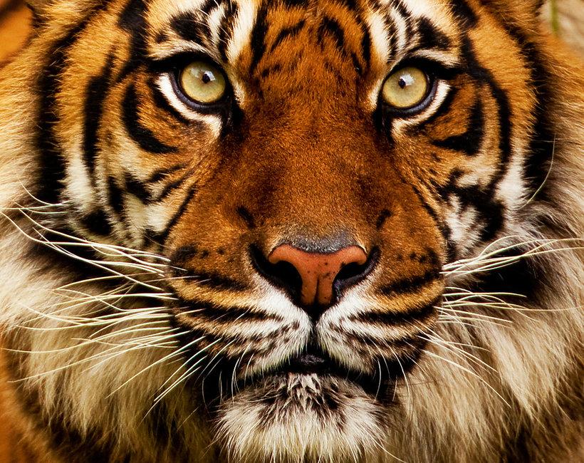 Gryfiński Tygrys